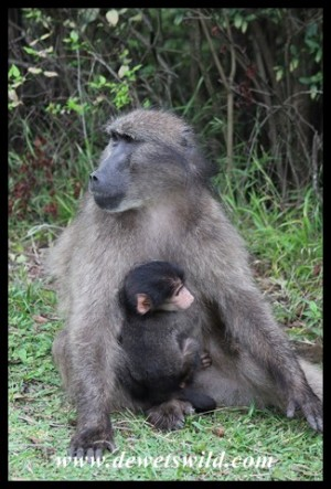 Female baboon with baby