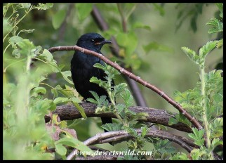 Black Cuckooshrike Male
