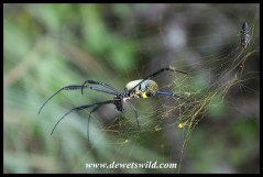 Golden Orb-web Spider