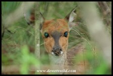 Bushbuck ewe in hiding