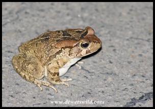 Raucous Toad