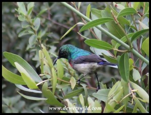 Male Southern Double-collared Sunbird (male)