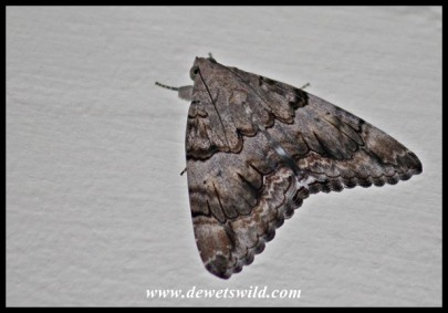 Unidentified large moth