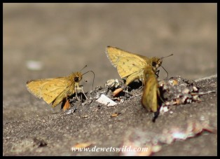 Common Hottentot butterfly
