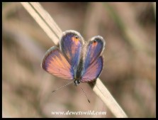 Cupreous Blue butterfly