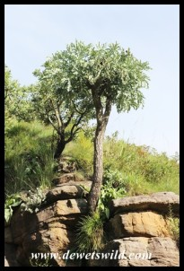 Highveld Cabbage Tree