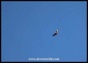 Jackal Buzzard in flight over Thendele