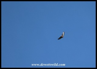 Jackal Buzzard in flight over Thendele