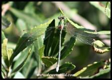 Drakensberg Malachite