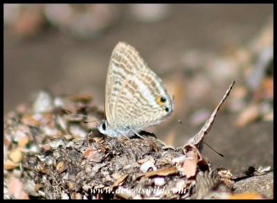 Pea Blue butterflies