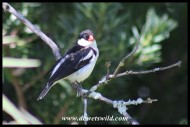 Male Pin-tailed Whydah (lost the trailing feathers somehow)
