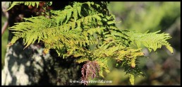 Common Tree Fern leaves