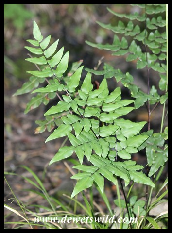 Various kinds of ferns adorn the trails in Royal Natal