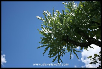 Highveld Cabbage Tree leaves