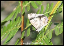 Bush Bronze butterfly