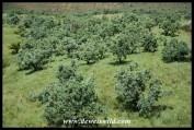 Common Sugarbush dot a hillside below Thendele in Royal Natal National Park