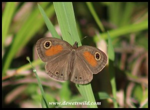Rainforest Brown butterfly