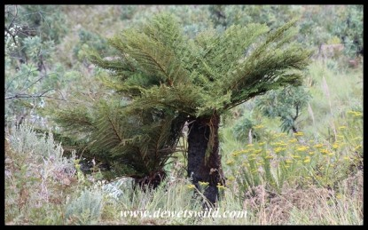 Common Tree Ferns
