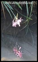 River Lilies