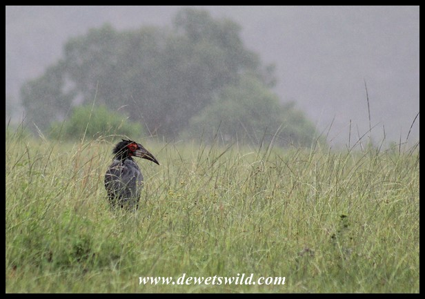 We didn't expect to find a pair of Southern Ground Hornbills roaming the grasslands in the rain at Rugged Glen!
