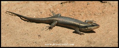 Speckled Rock Skink (photo by Joubert)