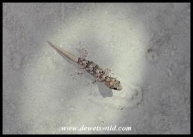 Baby Turner's Giant Gecko