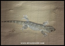 Turner's Giant Gecko