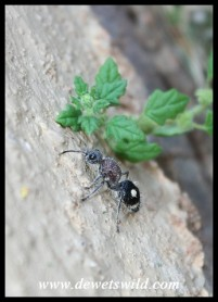A Velvet Ant female - the females are flightless