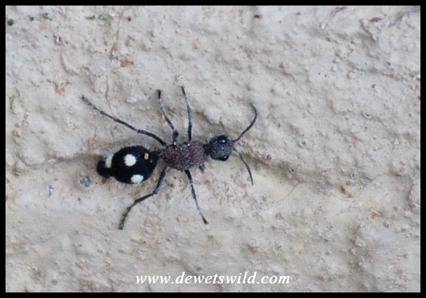 Velvet Ant female