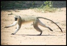 Vervet Monkey (photo by Joubert)