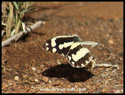 Zebra White butterfly