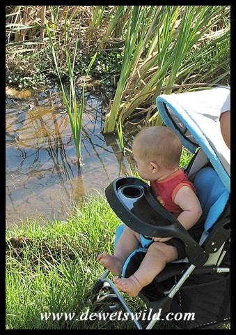 7 Months old: March 2010. Off-roading pram along the Rademeyer Spruit in the Moreletakloof.