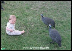 9 Months old: May 2010. Surrounded by Guineafowl in the rest camp at Wilderness in the Garden Route National Park.