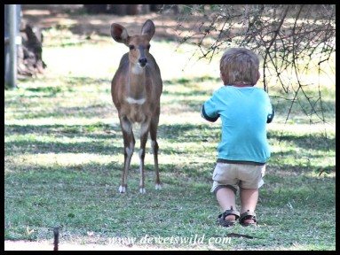 2 Years old: June 2012. Making the acquaintance of a bushbuck at Letaba in the Kruger National Park.