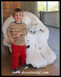 2 Years old: June 2012. Just how big is that elephant skull!? Blyde River Canyon Nature Reserve.