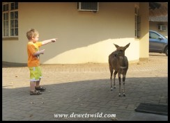 4 Years old: September 2013. Showing one of Letaba's bushbuck where to go for tastier leaves. Kruger National Park.