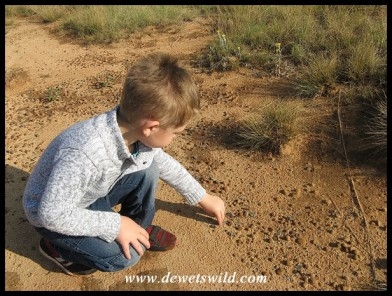 5 Years old: November 2014. Looking for jewels at Golden Gate Highlands National Park.