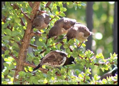Bronze Mannikin juveniles watching an adult intently