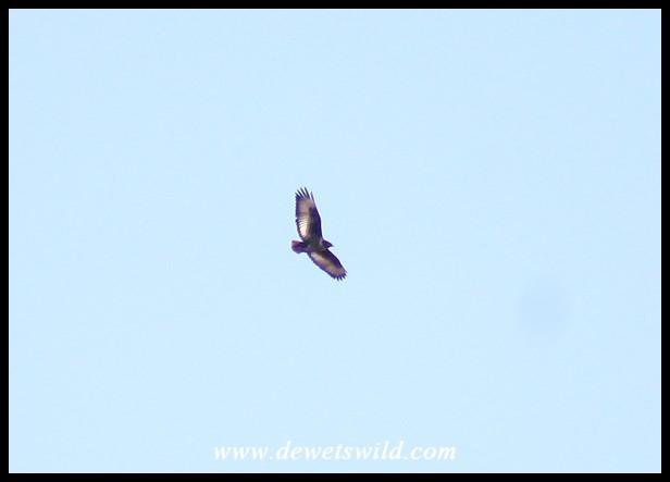 Jackal Buzzard in flight over Giant's Castle