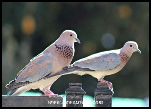 Laughing Dove courting