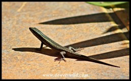 Speckled Rock Skink