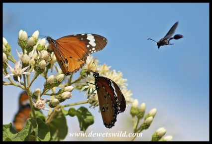 African Monarch butterflies and an incoming wasp