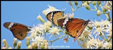 African Monarch butterflies