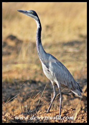 Black-headed Heron on the Kamberg Road