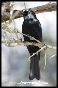 Black Flycatcher