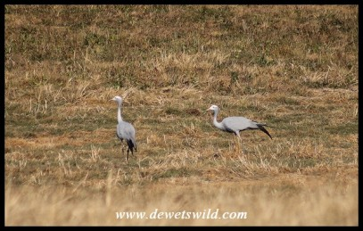 Blue Cranes on the Lower Loteni Road