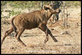Buffalo calf on the run (Photo by Joubert)