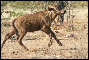 Buffalo calf on the run (Photo by Joubert)
