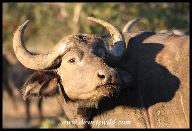 Buffalo cow (Photo by Joubert)