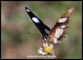 Common Diadem (male)